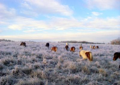 Poneys en hiver